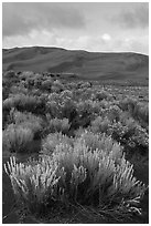 Shrubs and dunes. Great Sand Dunes National Park, Colorado, USA. (black and white)