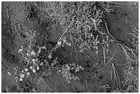 Ground close-up with flowers, shrubs, and sand. Great Sand Dunes National Park, Colorado, USA. (black and white)