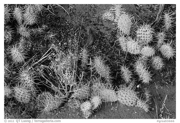Ground close-up with flowers, cactus, and sand. Great Sand Dunes National Park and Preserve (black and white)