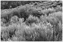 Sage and rabbitbrush. Great Sand Dunes National Park, Colorado, USA. (black and white)