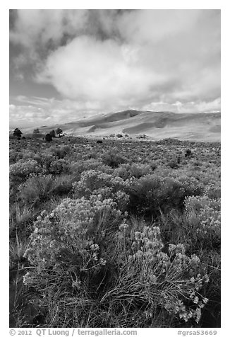 Rubber rabbitbrush. Great Sand Dunes National Park and Preserve (black and white)
