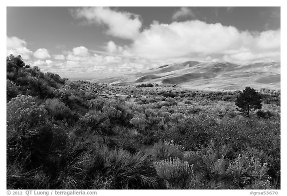 Rabbitbrush in autumn and dunes. Great Sand Dunes National Park and Preserve (black and white)