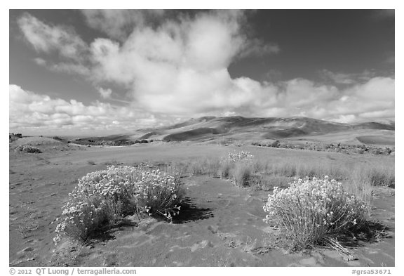 Rabbitbrush in dried Medano creek bed. Great Sand Dunes National Park and Preserve (black and white)