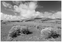 Rabbitbrush in dried Medano creek bed. Great Sand Dunes National Park, Colorado, USA. (black and white)
