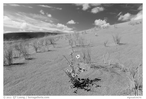 Prairie sunflowers and blowout grasses on sand dunes. Great Sand Dunes National Park and Preserve (black and white)