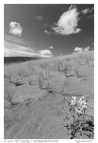 Prairie sunflowers and blowout grasses on dune field. Great Sand Dunes National Park and Preserve (black and white)