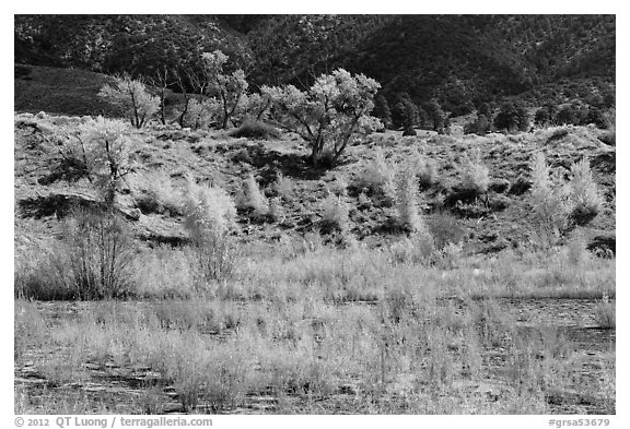 Riparian vegetation in autum foliage, Medano Creek. Great Sand Dunes National Park and Preserve (black and white)