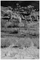 Shrubs and cottonwoods in autum foliage, Medano Creek. Great Sand Dunes National Park, Colorado, USA. (black and white)