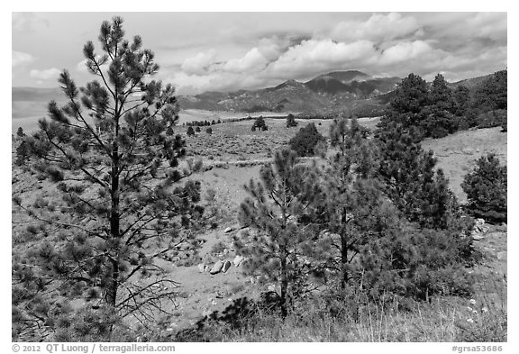Pinyon pines. Great Sand Dunes National Park and Preserve (black and white)