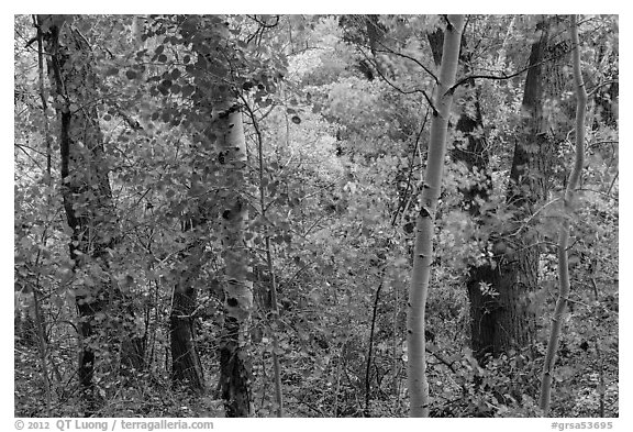 Forest in autumn along Mosca Creek. Great Sand Dunes National Park and Preserve (black and white)