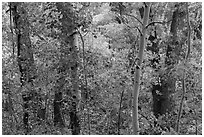 Forest in autumn along Mosca Creek. Great Sand Dunes National Park, Colorado, USA. (black and white)