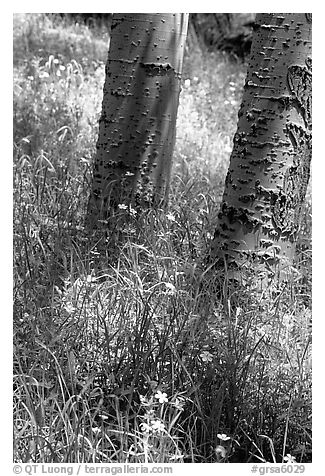 Aspen trunks in summer near Medora Pass. Great Sand Dunes National Park and Preserve (black and white)
