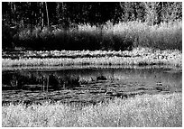 Pond with fall colors. Grand Teton National Park ( black and white)