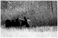 Bull moose out of forest in autumn. Grand Teton National Park ( black and white)
