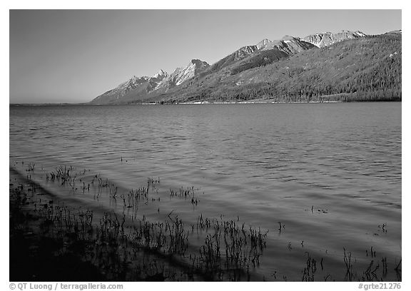 Reeds, Jackson Lake, and distant Teton Range, early morning. Grand Teton National Park, Wyoming, USA.