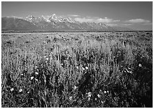 Flats with Arrowleaf balsam root and Teton range, morning. Grand Teton National Park ( black and white)