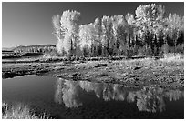 Aspen with autumn foliage, reflected in the Snake River. Grand Teton National Park, Wyoming, USA. (black and white)