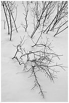 Bare shrub branches and snow. Grand Teton National Park, Wyoming, USA. (black and white)