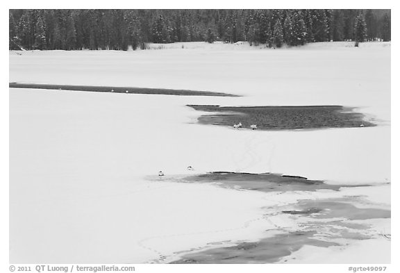 Frozen Oxbow Bend with trumpeters swans. Grand Teton National Park (black and white)