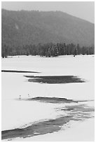 Winter landscape with  trumpeters swans. Grand Teton National Park, Wyoming, USA. (black and white)
