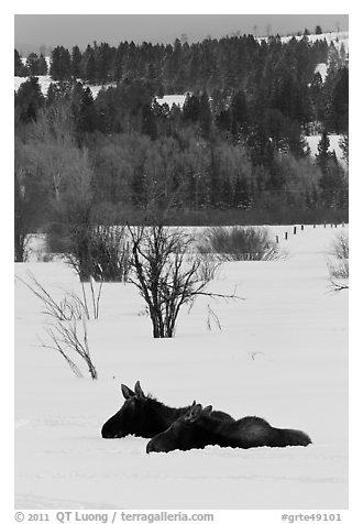Sleepy moose in winter. Grand Teton National Park (black and white)