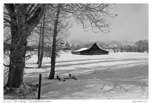 Cottonwoods and Moulton barn in winter. Grand Teton National Park (black and white)