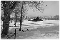 Cottonwoods and Moulton barn in winter. Grand Teton National Park, Wyoming, USA. (black and white)