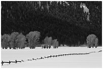 Long fence, cottonwoods, and hills in winter. Grand Teton National Park, Wyoming, USA. (black and white)