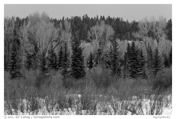 Colorful willows, evergreens, and cottonwoods in winter. Grand Teton National Park (black and white)