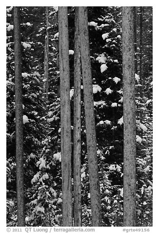 Trunks and evergreen in winter. Grand Teton National Park (black and white)
