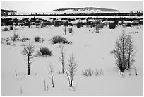 Winter landscape with bare trees and shrubs, Willow Flats. Grand Teton National Park ( black and white)