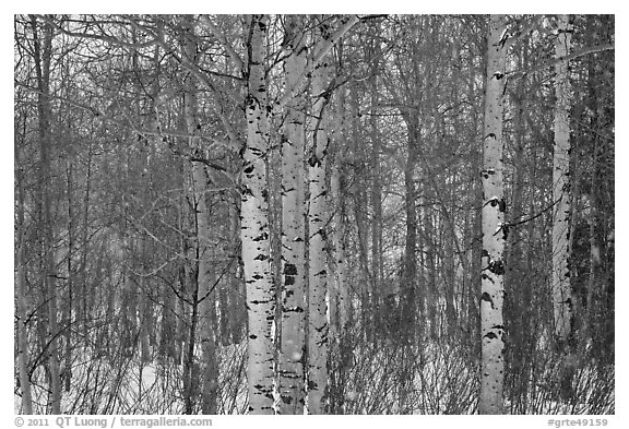 Aspen forest in winter. Grand Teton National Park (black and white)