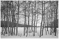 Aspen grove, Willow Flats, winter. Grand Teton National Park ( black and white)