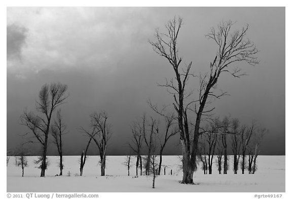 Bare Cottonwoods and dark sky in winter. Grand Teton National Park (black and white)