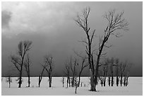 Bare Cottonwoods and dark sky in winter. Grand Teton National Park, Wyoming, USA. (black and white)