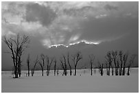 Winter sunset with snow and cottonwoods. Grand Teton National Park, Wyoming, USA. (black and white)