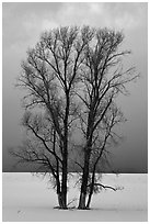 Bare cottonwood trees, snow and sky. Grand Teton National Park, Wyoming, USA. (black and white)