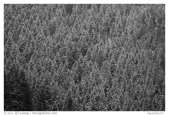 Hillside with frozen conifers. Grand Teton National Park (black and white)