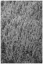 Dense snowy conifer forest. Grand Teton National Park ( black and white)