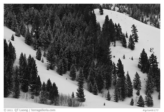 Conifers on hillside in winter. Grand Teton National Park (black and white)