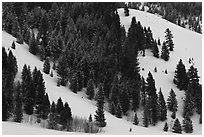 Conifers on hillside in winter. Grand Teton National Park ( black and white)