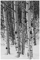 Aspen trunks in winter. Grand Teton National Park, Wyoming, USA. (black and white)