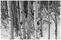 Trunks of aspen trees in winter. Grand Teton National Park, Wyoming, USA. (black and white)