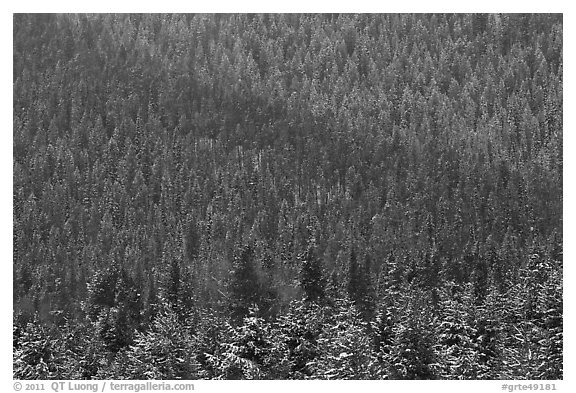 Snowy forest on mountainside. Grand Teton National Park (black and white)