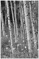 Sunflowers, lupines and aspen forest. Grand Teton National Park ( black and white)