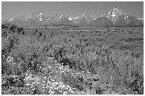 Wildflowers and Teton range, morning. Grand Teton National Park, Wyoming, USA. (black and white)