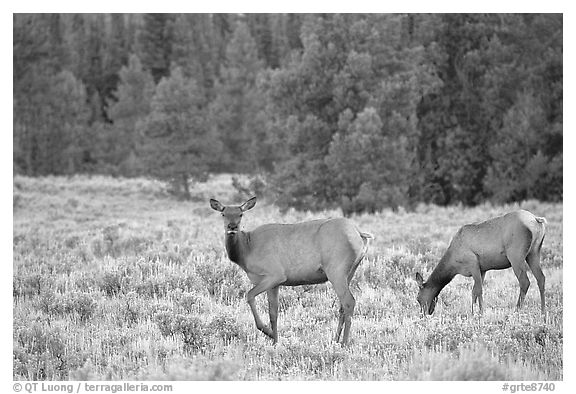 Cow Elk in meadow a dusk. Grand Teton National Park (black and white)
