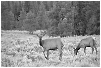 Cow Elk in meadow a dusk. Grand Teton National Park, Wyoming, USA. (black and white)