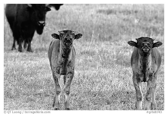 Bison calves. Grand Teton National Park, Wyoming, USA.