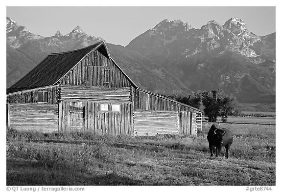 Bison in front of barn, with Grand Teton in the background, sunrise. Grand Teton National Park (black and white)
